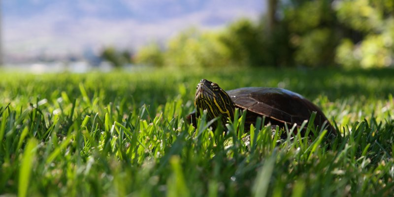 Turtle crawling in grass